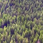 Pine tree background — Stock Photo #8892073