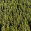 Panoramic view of pine trees — Stock Photo