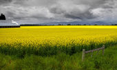 Rapeseed farm — Stock Photo
