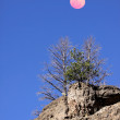 Pine trees and moon — Stockfoto #9017984