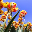Yellow and red colored tulips — Stock Photo