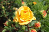 Yellow rose — Stock Photo