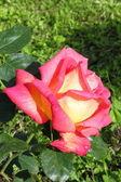 Rosa amarela com manchas vermelhas — Fotografia Stock