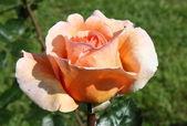 Rosa arancia — Foto Stock