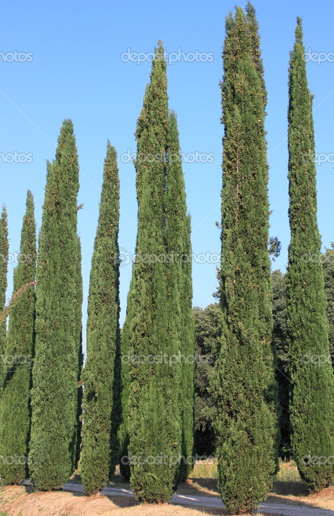 Cypress trees on a blue sky background — Stock Photo #10488061