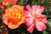 Orange und rosa Rosen — Stockfoto