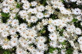 White daisies — Photo