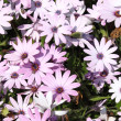 Pink daisies — Stock Photo #10531985
