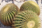 Golden barrel cactus, Echinocactus Grusonii — Stock Photo