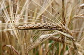 Ripe wheat ear — Stock Photo