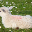 Stock Photo: Newborn lamb