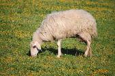 Wollige schapen — Stockfoto