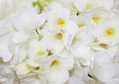 White freesia — Stock Photo