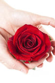 HANDS HOLDING RED ROSE — Stock Photo