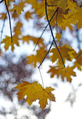 Detail of maple leaves on background maple tree — Stock Photo