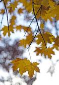 Detail van esdoorn bladeren op achtergrond esdoorn — Stockfoto