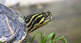 Red necked turtle enjoying — Stock Photo