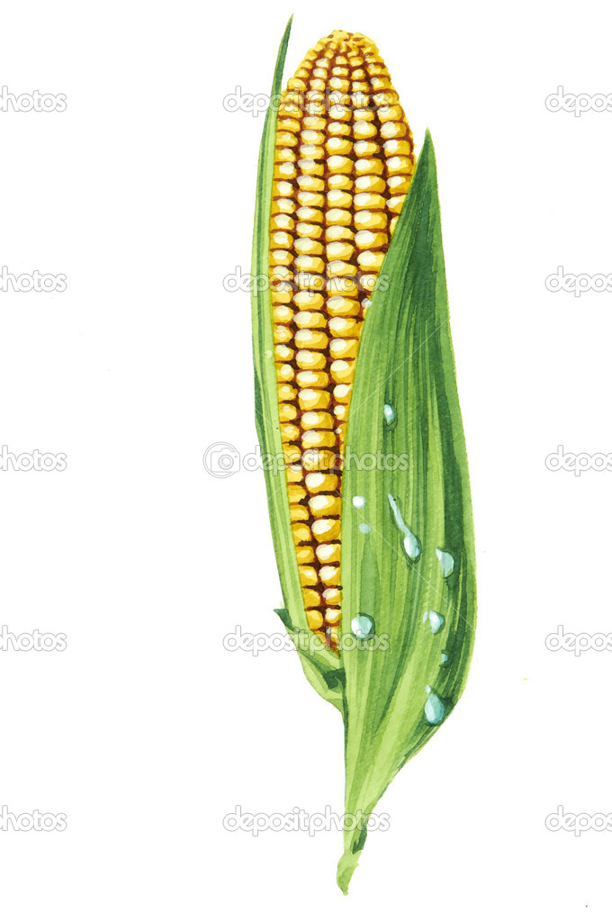 Color illustration of corn in watercolor paintings — Stock Photo #9398215