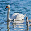 Little Swan — Stock Photo