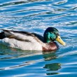 Duck & waters — Foto de stock #8485273