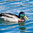Stock Photo: Duck & waters