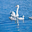 Stock Photo: Little Swan