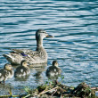 Foto Stock: Duck & waters
