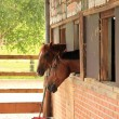 Stock Photo: Horses looking out of stable