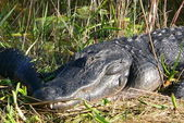 Crocodile is sunbathing — Stock Photo