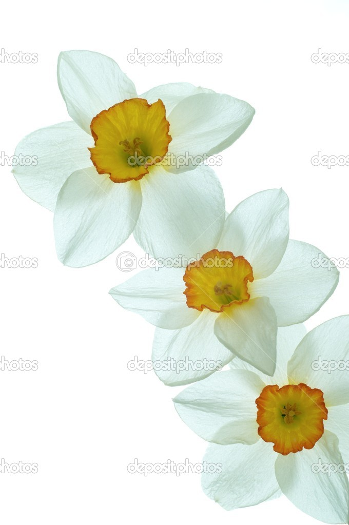 Daffodil flower on a white background — Stock Photo #10355233