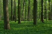 Spring deciduous forest — Stock Photo