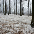 In frosty beechwood — Photo