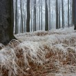 In frosty beechwood — Stock Photo