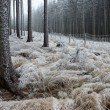 Stock Photo: In frosty pine - wood