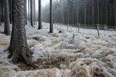 In frostigen kiefer - holz — Stockfoto