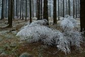 In frosty pine - wood — 图库照片