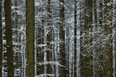 In frosty pine - wood — Stock Photo
