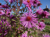 Asters in autumn — Stock Photo