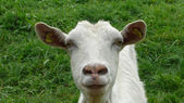 Goat closeup — Stock Photo