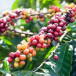 Coffee beans on tree — Stock Photo #10221998