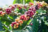 Coffee beans on tree — Stock Photo
