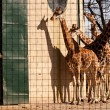 Постер, плакат: Giraffes in captivity