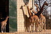 Girafes en captivité. — Photo