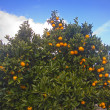 Oranges on the tree - Stock Photo