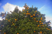 Oranges on the tree — Stock Photo