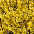 Stock Photo: Yellow blooming forsythia.