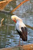 Stork near water — Стоковое фото