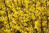 Yellow blooming forsythia. — Stock Photo