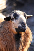 Sheep's portrait — Stockfoto