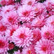 Pnk chrysanthemum - Stock Photo